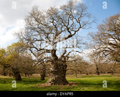 Ancient oak trees in historic deer park, Staverton, Suffolk, England - Stock Photo