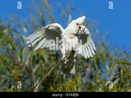 Little Corella (Cacatua pastinator), South Australia, SA, Australia - Stock Photo