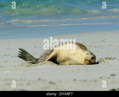 Australian Sea Lion (Neophoca cinerea), Kangaroo Island, South Australia, SA, Australia - Stock Photo