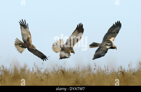 Marsh Harrier - Circus aeruginosus - male - left and centre - female - right. - Stock Photo