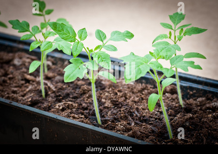 Tomato seedling close up growing in tray - Stock Photo