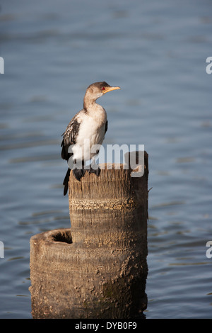 Long-tailed Cormorant Phalacrocorax africanus Gambia, West Africa BI025086 - Stock Photo
