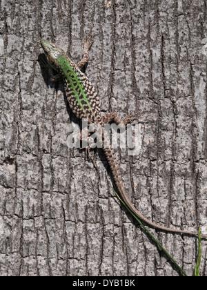 Italian Wall Lizard, ruin lizard, or Istanbul lizard ( Podarcis sicula ) - Stock Photo