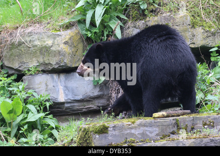 Spectacled or  Andean bear (Tremarctos ornatus) close-up - Stock Photo