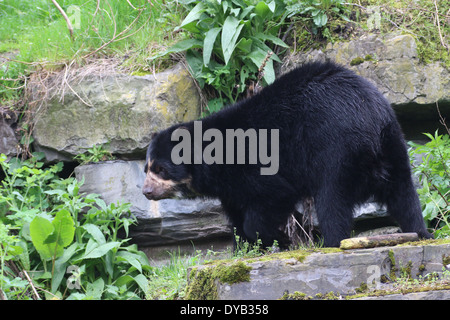Spectacled or  Andean bear (Tremarctos ornatus) - Stock Photo