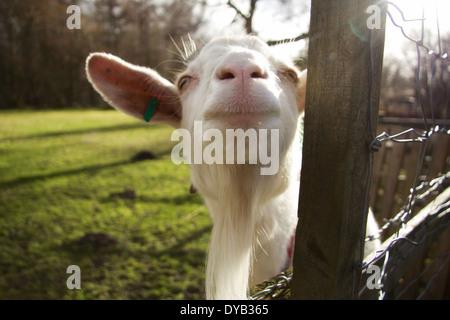 Lens Flare Smiling Goat - Stock Photo