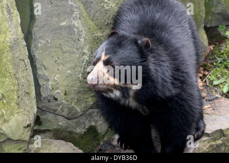 South American Spectacled or  Andean bear (Tremarctos ornatus) close-up - Stock Photo