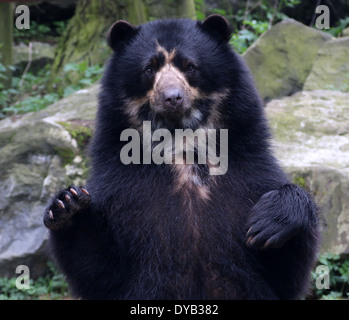 Mature male South American Spectacled or  ndean bear (Tremarctos ornatus) close-up, paws lifted up in the air - Stock Photo