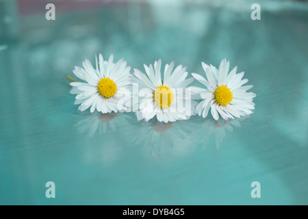 Three daisies positioned in a row on a glass surface with an aqua blue/green   background. Three daisies and their - Stock Photo