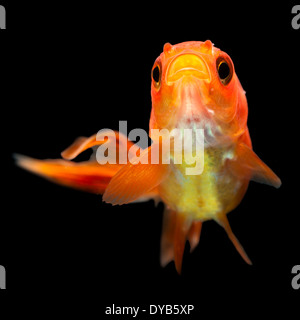 Oranda Goldfish Fry Isolated On Black - Stock Photo