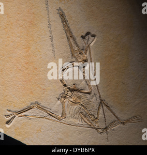 Fossil Pterodactyl (Pterodactylus sp.). Jurassic age. - Stock Photo