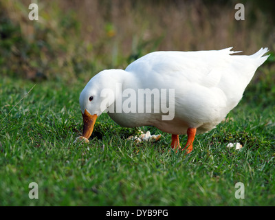 American Pekin Duck with bread on grass in a park. - Stock Photo