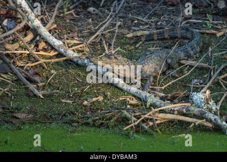 Young American alligator (Alligator mississippiensis) sitting on a banking in a marsh. - Stock Photo