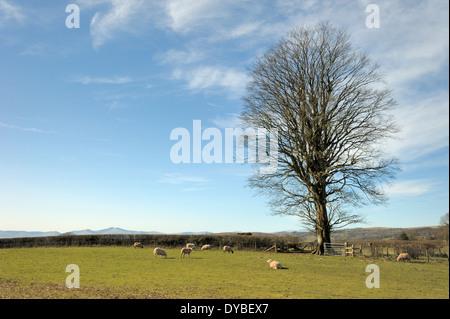 Big Beech Tree on a High Common - Stock Photo