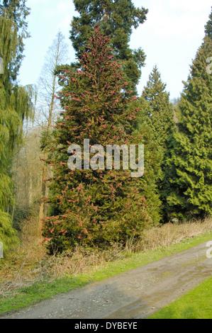 Lawson's Cypress, Chamaecyparis lawsoniana - Stock Photo