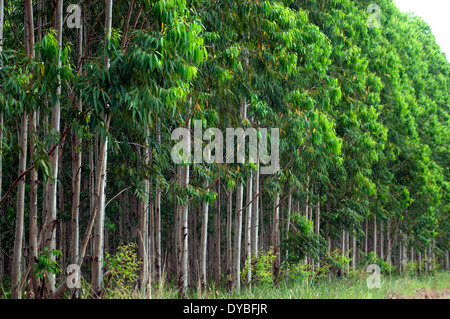 Eucalyptus crop, Eucalyptus urophylla, close to a road in the state of Espirito Santo, Brazil - Stock Photo