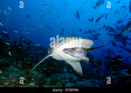 Bull shark, Carcharhinus leucas, swims with fish in the mouth, Beqa lagoon, Viti Levu, Fiji, South Pacific - Stock Photo