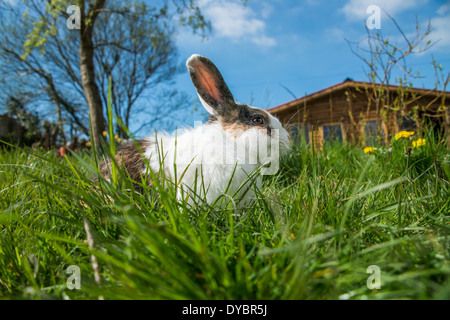 White and brown rabbit on the grass on a spring day - Stock Photo