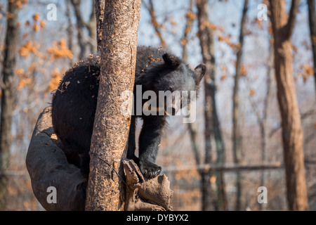 Asiatic black bear sittng on the tree in zoo - Stock Photo