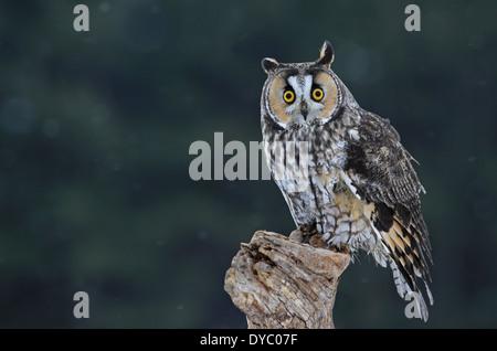 Cute Long-eared Owl Stock Photo