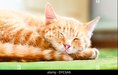 Pretty cat sleep. Peaceful orange red tabby male kitten curled up sleeping - Stock Photo