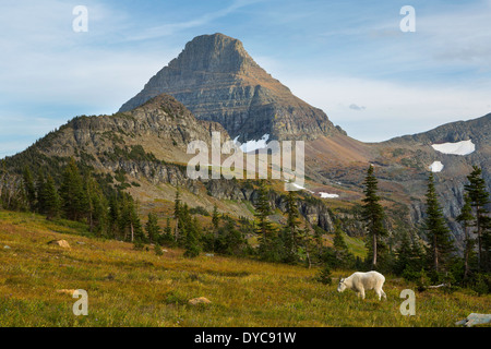 A mountain goat (Oreamnos americanus) grazes the grasses of Glacier National Park, National Park in the fall. Montana. - Stock Photo