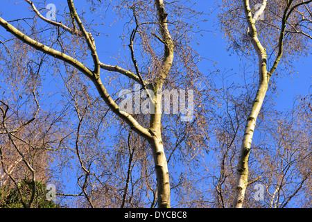 Silver birch tree in winter in an English Garden in sun with a blue winter sky - Stock Photo