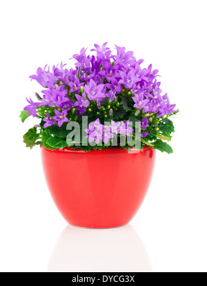 blue campanula flowers in red pot, on white background - Stock Photo