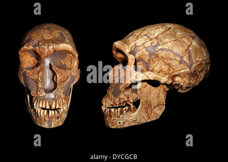 Front And Side View Of La Ferrassie1 Homo neanderthalensis Skull Replica Cast