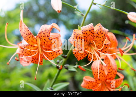 Flowers of the Tiger lily, Lilium lancifolium in South Korea - Stock Photo