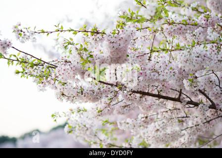 WASHINGTON DC, USA - WASHINGTON DC - The flowering of thousands of cherry blossoms around the Tidal Basin in Washington - Stock Photo