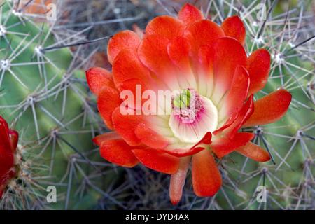 Claret Cup Cactus Flower (Echinocereus triglochidiatus)