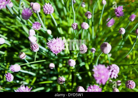 purple buds and flower head shoot up towards the sun in this thick bush of chives - Stock Photo