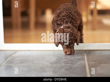 An inquisitive miniature poodle sniffing the floor. - Stock Photo