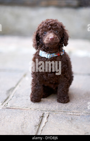 A confident miniature poodle sniffing the floor. - Stock Photo