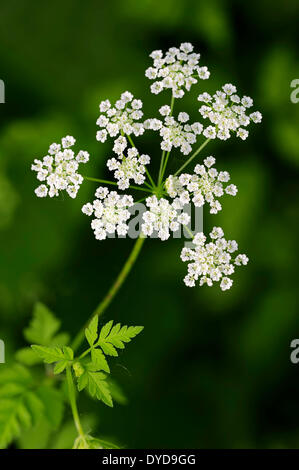 Rough Chervil (Chaerophyllum temulum), flowers, North Rhine-Westphalia, Germany - Stock Photo