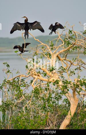 Oriental Darter or Indian Darter (Anhinga melanogaster) and Little Cormorants (Phalacrocorax niger), Bundala National - Stock Photo