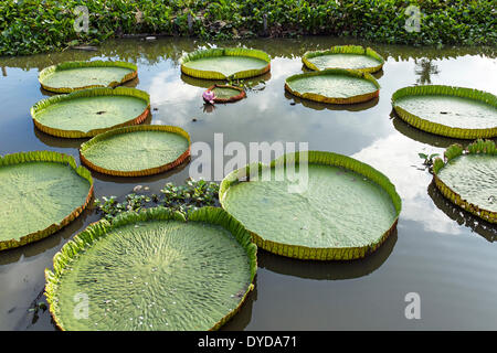 Giant Water Lilies (Victoria sp.), Wat Jedlin, Chiang Mai, Northern Thailand, Thailand - Stock Photo