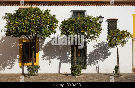 Bitter or Seville Orange trees (Citrus x aurantium) at the Plaza de Pilatos against the façade of the mansion Casa - Stock Photo