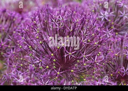 Allium, Star of Persia (Allium christophii) - Stock Photo