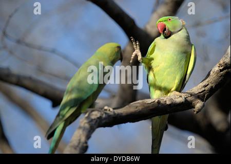 Rose-ringed parakeet (Psittacula eupatria) pair displaying. - Stock Photo