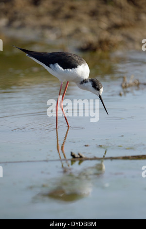 Black-winged stilt (Himantopus himantopus) foraging in water with reflection. - Stock Photo