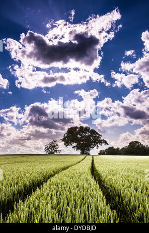 Tractor wheel tracks through a field of wheat ready to ripen for harvest. - Stock Photo