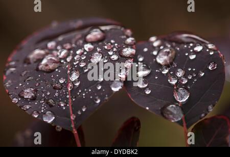 Rainsdrops on the leaves of a Smoke Bush. - Stock Photo