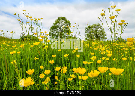 A buttercup meadow in June. - Stock Photo