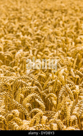 Field of wheat in South Yorkshire. - Stock Photo