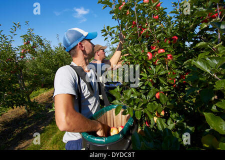 A team of apple pickers harvesting in a modern orchard. - Stock Photo