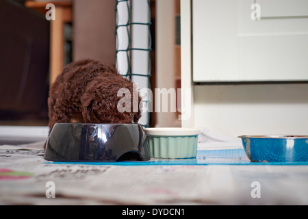 A miniature poodle puppy eating his dinner. - Stock Photo