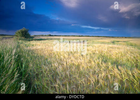 A storm passes over a summer barley field in Norfolk. - Stock Photo