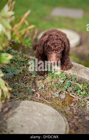 A miniature poodle puppy playing in the garden. - Stock Photo